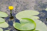 Yellow Pond Lily — Stock Photo