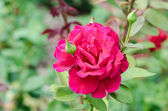Pink Rose Garden — Stock Photo