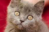 英国短头发的猫 — 图库照片