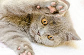British Shorthair Cat Playing — Stock Photo