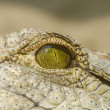 Nile Crocodile Eye — Stock Photo