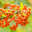 Poisonous Berries — Stockfoto