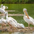 Pelicans In The Danube Delta — Stock Photo
