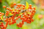 Poisonous Berries — Stock Photo
