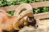 Mountain Goat Portrait — Stock Photo