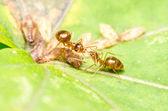 Ants Eating Aphids Honeydew Drop — Stock Photo