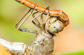 Dragonflies Reproductive System — Stock Photo