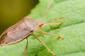Brown Stink Bug Or Shield Bug — Stockfoto