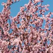 Plum Tree Pink Flowers Blossom — Stock Photo