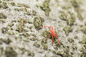 Red Velvet Mite — Stock Photo