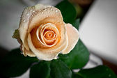 Rose with water drops, dew — Stockfoto