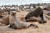 Leone marino — Foto Stock