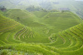 Chinese rice terraces in autumn — Stock Photo
