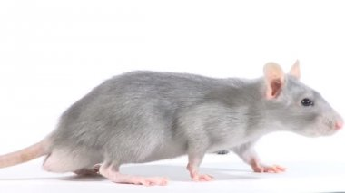 The mouse gnaws sunflower seeds on a white background — Stok video