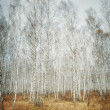 Beauty autumn birch forest  — Stock Photo