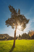 Single pine tree — Stock Photo