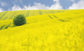 Oilseed Rape field with tree against blue sky — Stock Photo