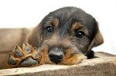 Droevige ogen teckel puppy met poot. — Stockfoto