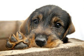 Sad eye Dachshund puppy with paw. — Stockfoto