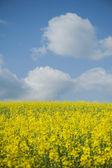 поле маслосемян рапса против голубого неба — Стоковое фото