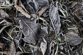 Frozen fallen dead autumn leaves with ice crystal in winter. (co — Stock Photo