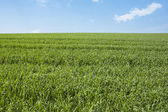 Green grassy field and blue sky — Stock Photo