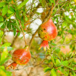 Pomegranate fruits on the tree — Stock Photo