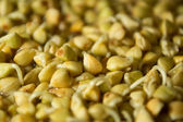 Sprouts and a very useful green buckwheat — Stock Photo