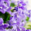 Campanula or bellflowers on white — Stock Photo