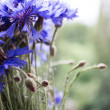 Cornflowers isolated — Stockfoto