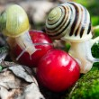 Helix Pomatia  edible snails in forest  — Foto de Stock