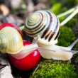 Helix Pomatia  edible snails in forest — Stock Photo