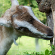 Goat eats bark from tree — Stock Photo #27624135