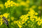 Honey Bee on a Yellow Flower, Nature Abstract — Stock Photo