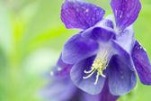 Vivid purple balloon flower — Stock Photo