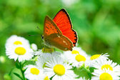Colorful monarch butterfly sitting on chamomile flowers — Stock Photo