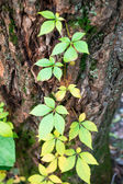 Ivy along tree in new growth — Stock Photo