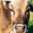 Brown Cow on a summer pasture — Stock Photo