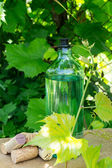 White wine bottle, young vine in the garden — Stock Photo
