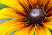 Blooming Rudbeckia  Black-eyed Susan flower — Stock Photo