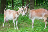 Portrait of a funny goats — Stock Photo