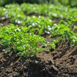 Potatoe plants — Stock Photo #27018971
