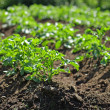 Stock Photo: Potatoe plants