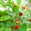 Wild strawberries — Stock Photo #27019127