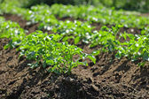 Potatoe plants — Stock Photo