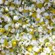 Camomile — Stock Photo #27631783