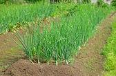 Plant of onion — Stock Photo