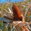Foto de Stock  : Corn, maize