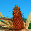 Stock Photo: Corn, maize