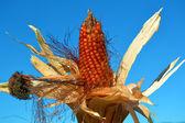 Corn, maize — Stock Photo